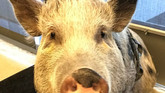 The Last of Us 2 Update: Pig Motion-Capture Edition